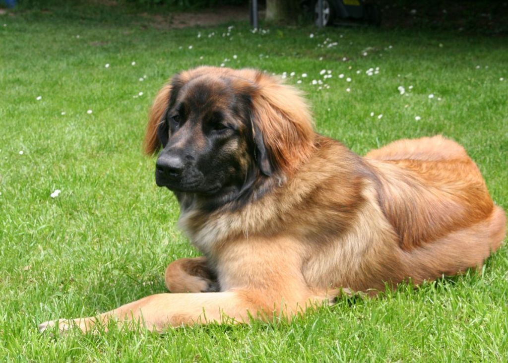"The-Giant-Leonberger-Dog-""The-New-Lion""-4 5 Hottest Facts About Giant Leonberger Dog ""The New Lion"""