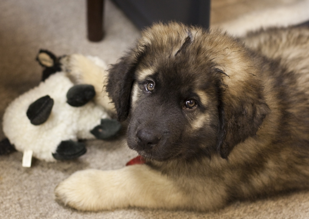 """5 Hottest Facts About Giant Leonberger Dog """"The New Lion"""" 