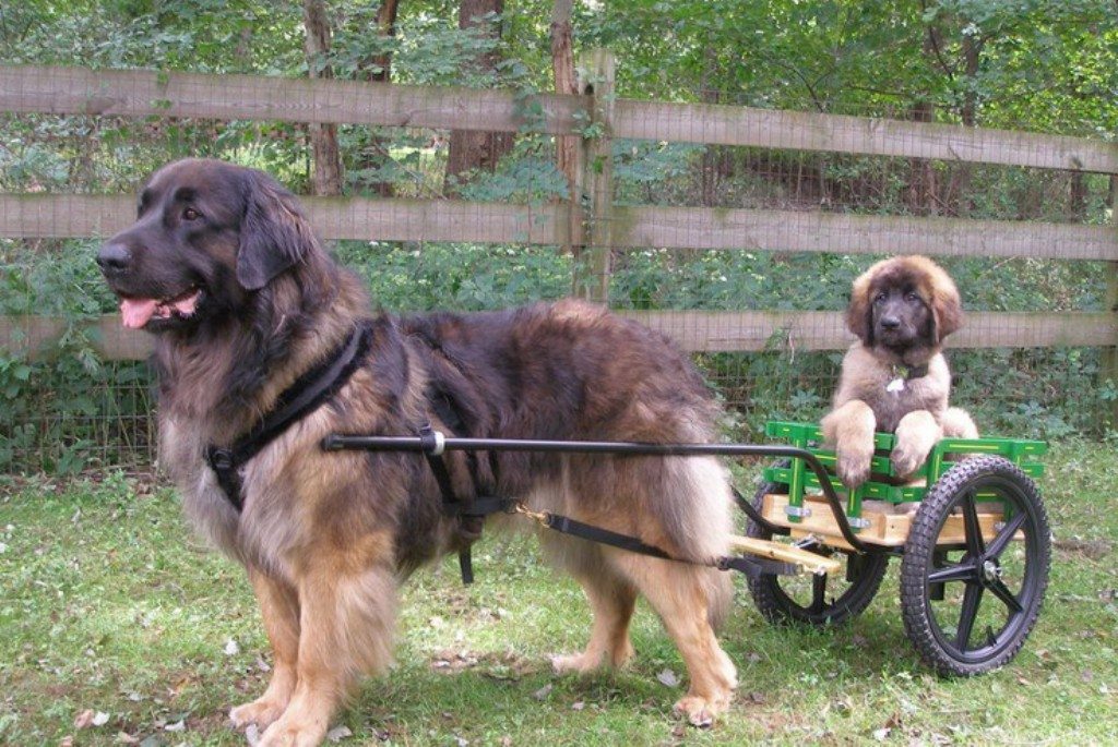 """The-Giant-Leonberger-Dog-""""The-New-Lion""""-7 5 Hottest Facts About Giant Leonberger Dog """"The New Lion"""""""