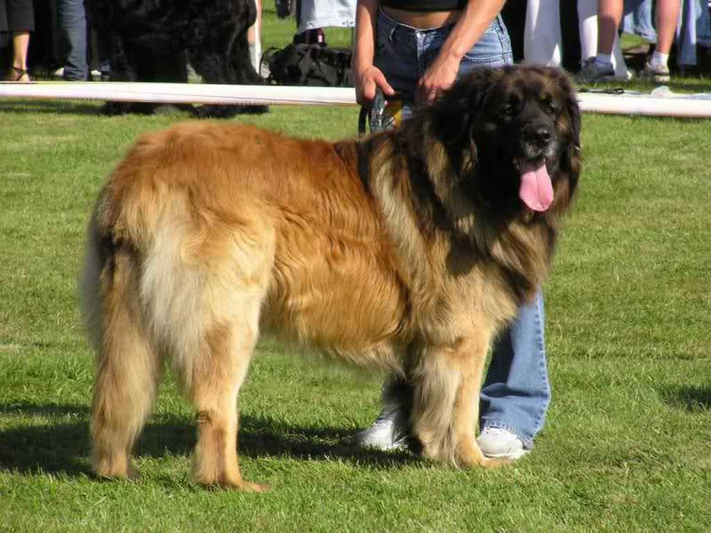 "The-Giant-Leonberger-Dog-""The-New-Lion""-9 5 Hottest Facts About Giant Leonberger Dog ""The New Lion"""