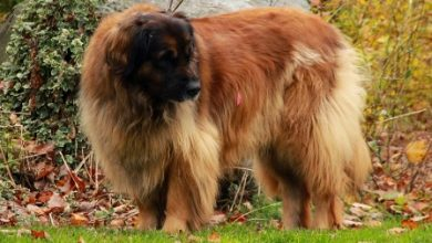 """Photo of 5 Hottest Facts About Giant Leonberger Dog """"The New Lion"""""""