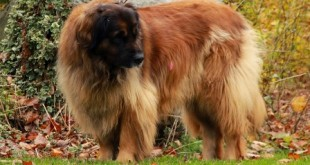 "The Giant Leonberger Dog ""The New Lion"""