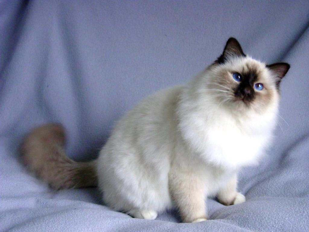 The-Rare-Snowshoe-Cat-Its-Unique-Characteristics-10 The Rare Snowshoe Cat & Its Unique Characteristics