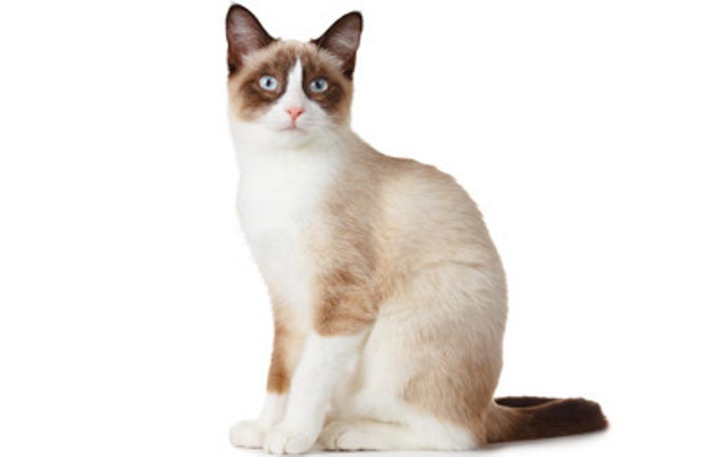 The-Rare-Snowshoe-Cat-Its-Unique-Characteristics-11 The Rare Snowshoe Cat & Its Unique Characteristics