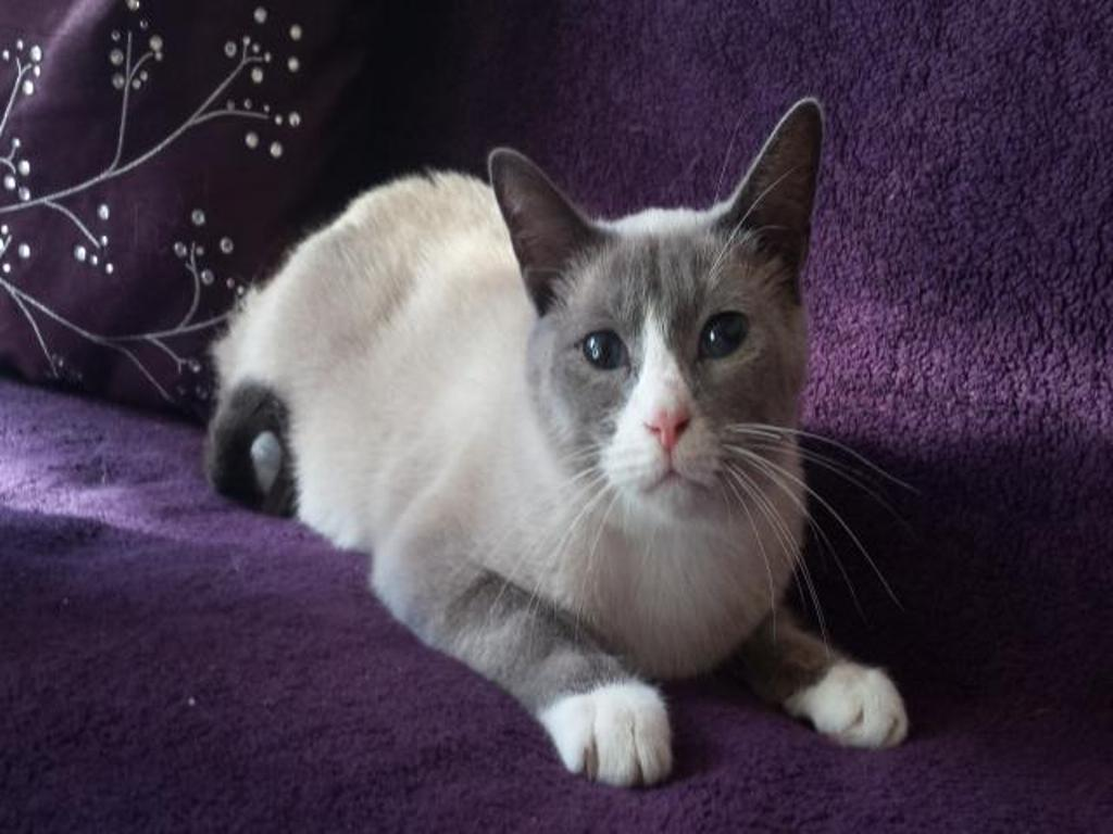 The-Rare-Snowshoe-Cat-Its-Unique-Characteristics-111 The Rare Snowshoe Cat & Its Unique Characteristics