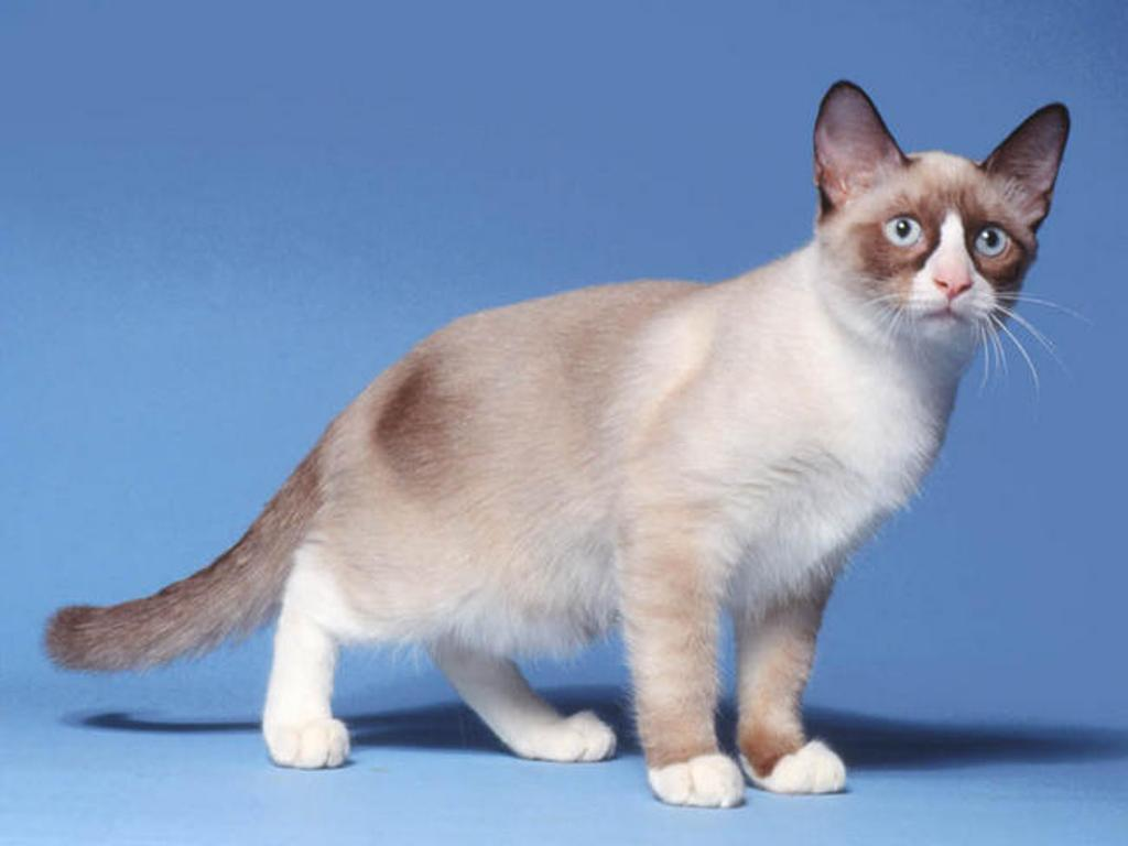 The-Rare-Snowshoe-Cat-Its-Unique-Characteristics-12 The Rare Snowshoe Cat & Its Unique Characteristics