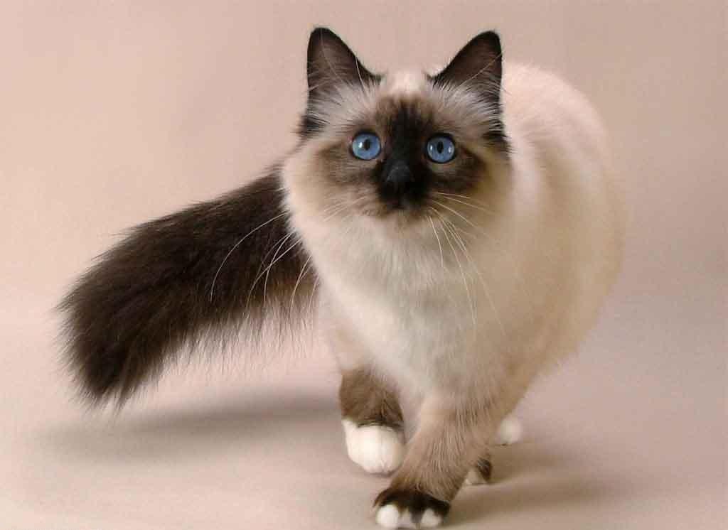 The-Rare-Snowshoe-Cat-Its-Unique-Characteristics-13 The Rare Snowshoe Cat & Its Unique Characteristics