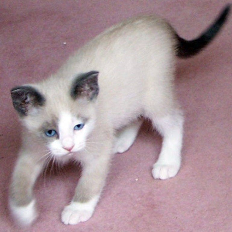 The-Rare-Snowshoe-Cat-Its-Unique-Characteristics-14 The Rare Snowshoe Cat & Its Unique Characteristics