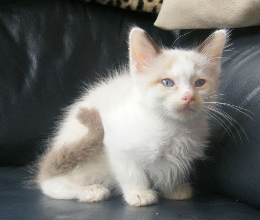 The-Rare-Snowshoe-Cat-Its-Unique-Characteristics-15 The Rare Snowshoe Cat & Its Unique Characteristics
