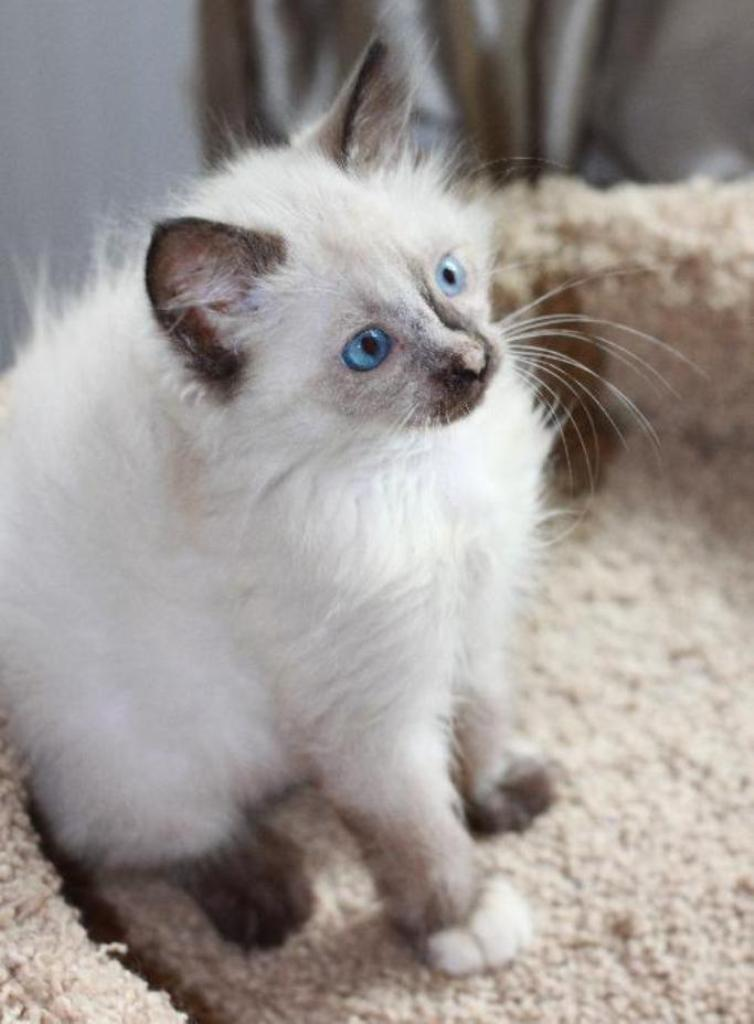 The-Rare-Snowshoe-Cat-Its-Unique-Characteristics-16 The Rare Snowshoe Cat & Its Unique Characteristics