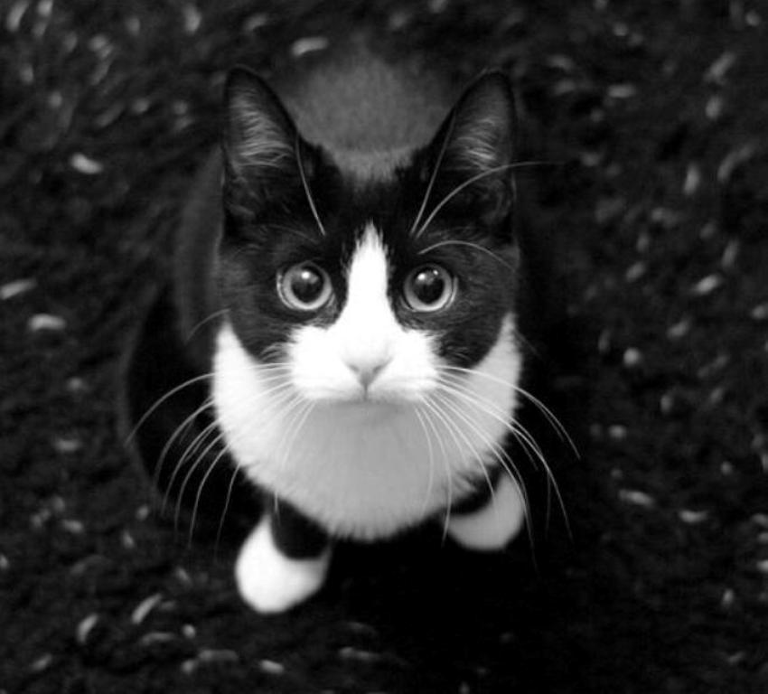 The-Rare-Snowshoe-Cat-Its-Unique-Characteristics-17 The Rare Snowshoe Cat & Its Unique Characteristics