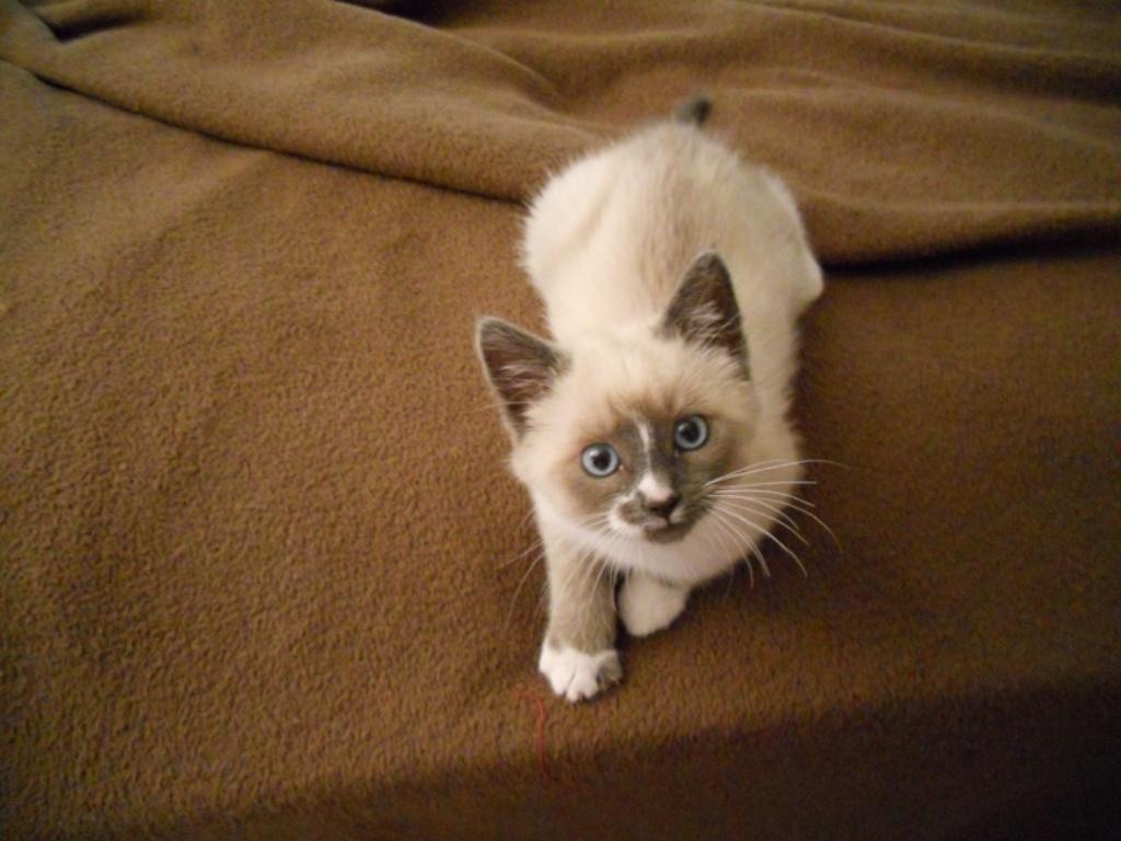 The-Rare-Snowshoe-Cat-Its-Unique-Characteristics-18 The Rare Snowshoe Cat & Its Unique Characteristics