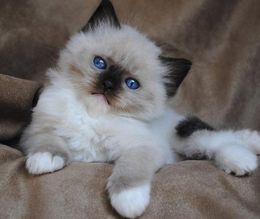 The-Rare-Snowshoe-Cat-Its-Unique-Characteristics-19 The Rare Snowshoe Cat & Its Unique Characteristics