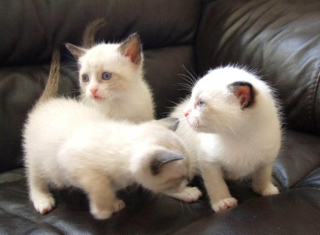 The-Rare-Snowshoe-Cat-Its-Unique-Characteristics-20 The Rare Snowshoe Cat & Its Unique Characteristics