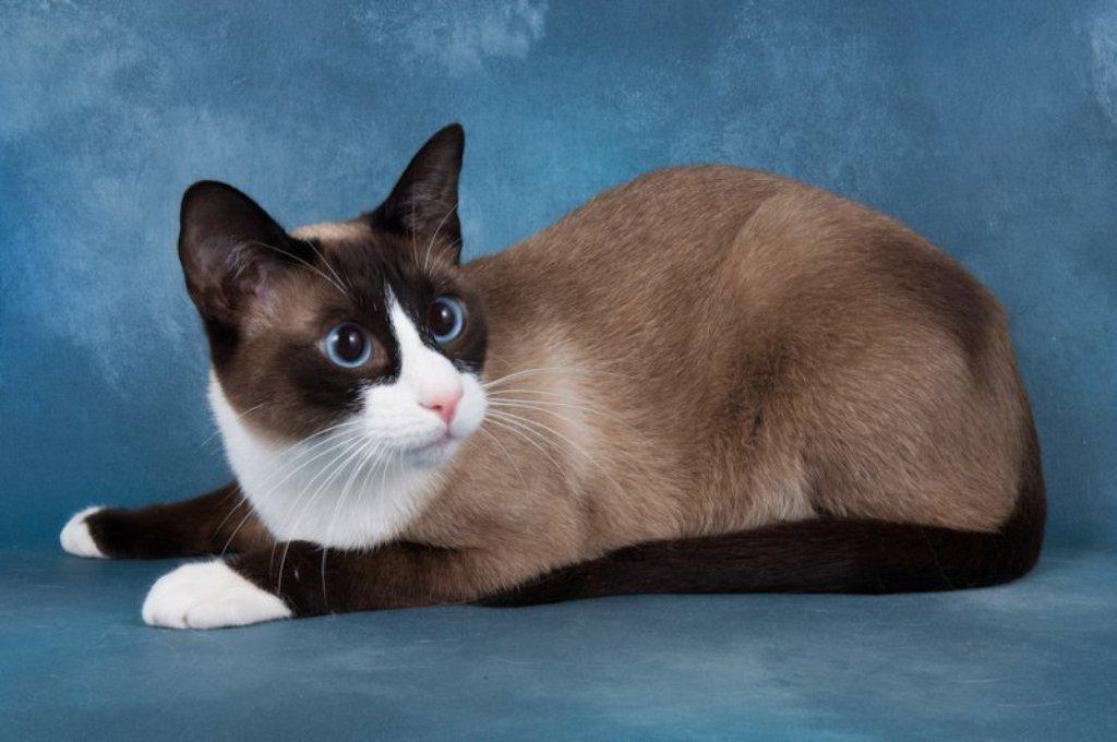 The-Rare-Snowshoe-Cat-Its-Unique-Characteristics-21 The Rare Snowshoe Cat & Its Unique Characteristics