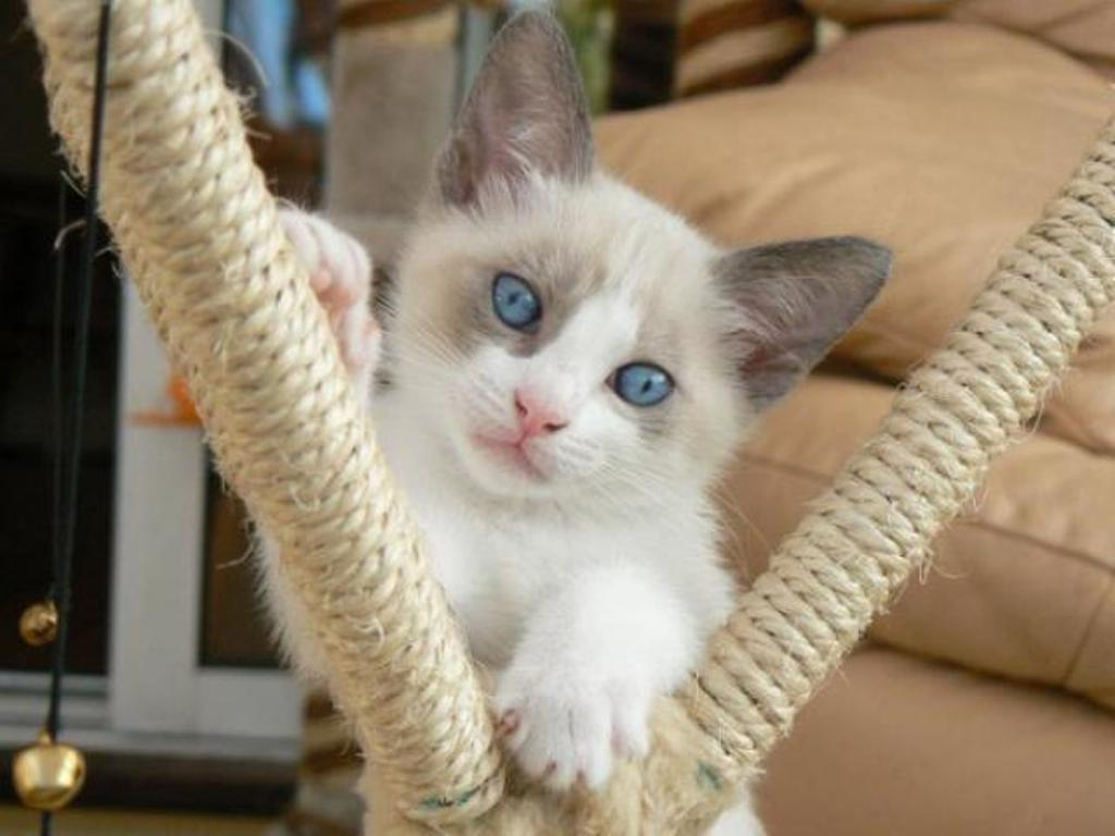 The-Rare-Snowshoe-Cat-Its-Unique-Characteristics-211 The Rare Snowshoe Cat & Its Unique Characteristics