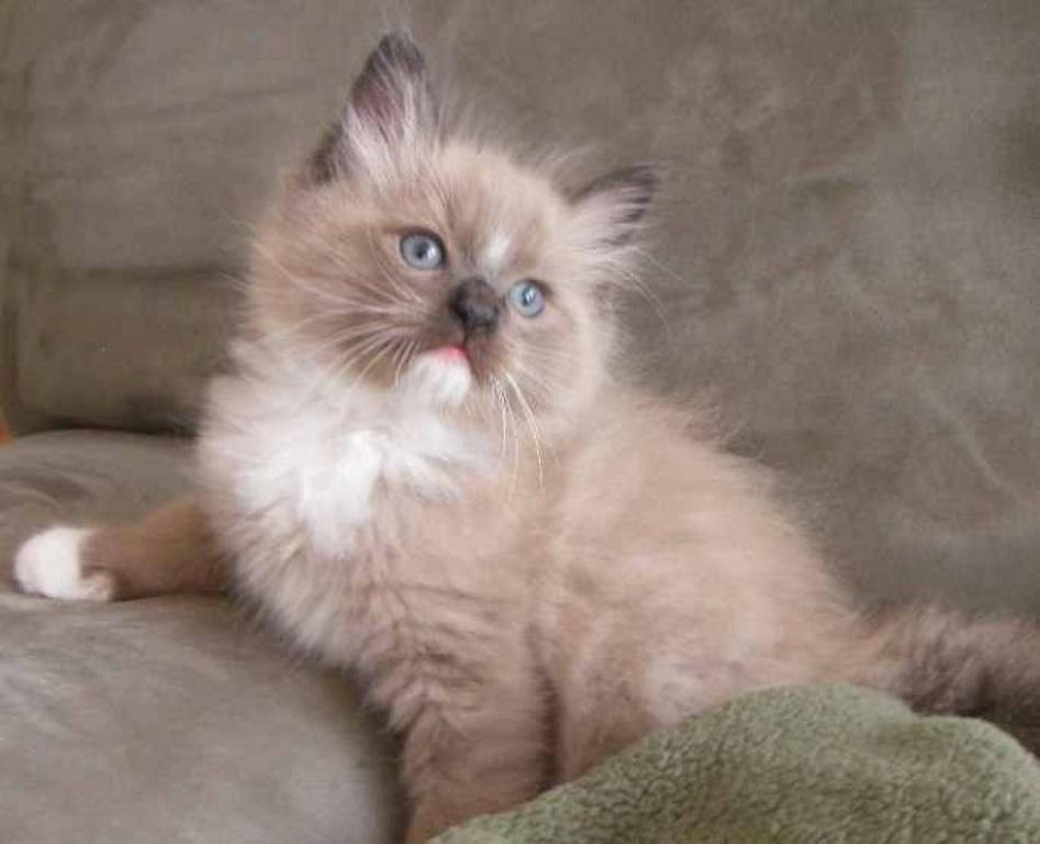 The-Rare-Snowshoe-Cat-Its-Unique-Characteristics-22 The Rare Snowshoe Cat & Its Unique Characteristics