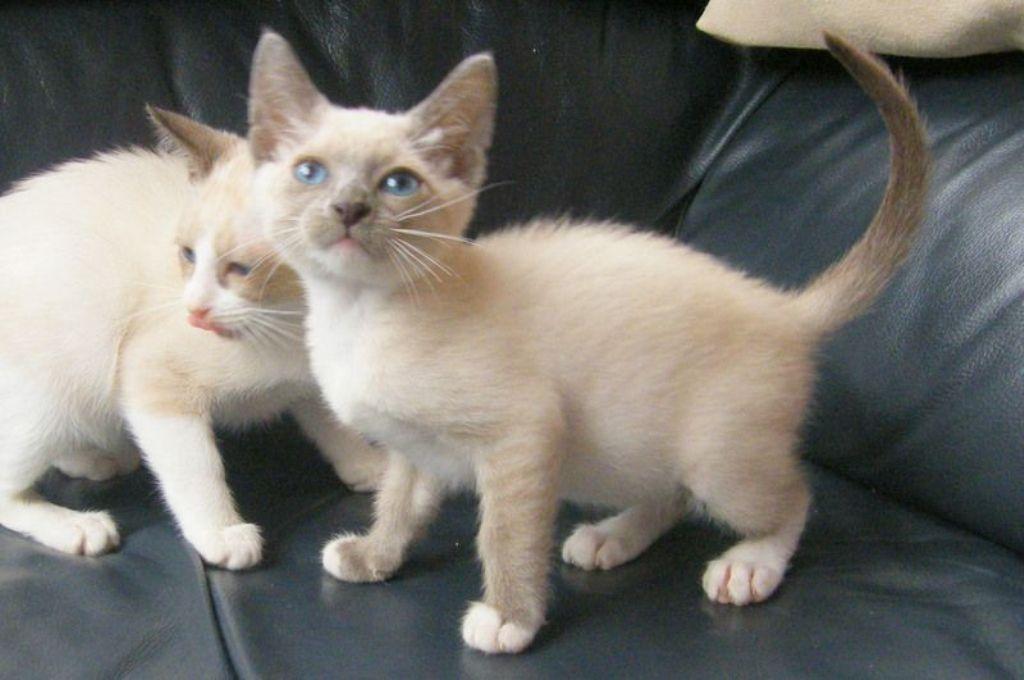 The-Rare-Snowshoe-Cat-Its-Unique-Characteristics-23 The Rare Snowshoe Cat & Its Unique Characteristics