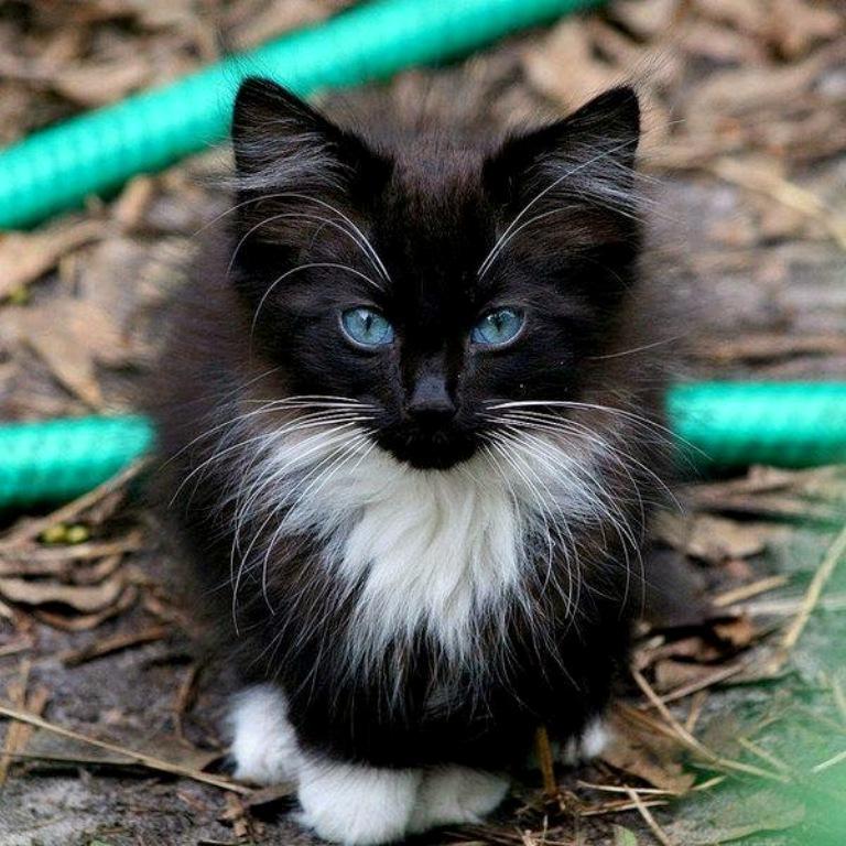 The-Rare-Snowshoe-Cat-Its-Unique-Characteristics-24 The Rare Snowshoe Cat & Its Unique Characteristics