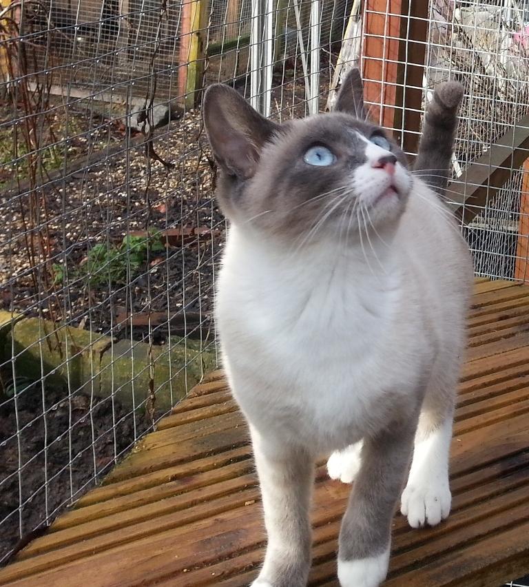The-Rare-Snowshoe-Cat-Its-Unique-Characteristics-25 The Rare Snowshoe Cat & Its Unique Characteristics