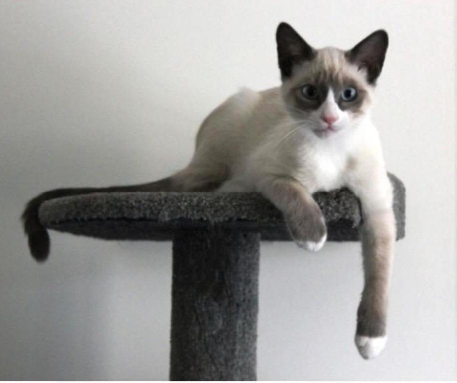 The-Rare-Snowshoe-Cat-Its-Unique-Characteristics-26 The Rare Snowshoe Cat & Its Unique Characteristics