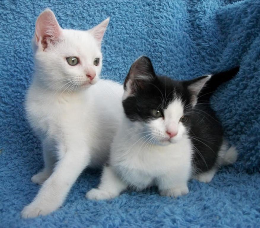 The-Rare-Snowshoe-Cat-Its-Unique-Characteristics-27 The Rare Snowshoe Cat & Its Unique Characteristics