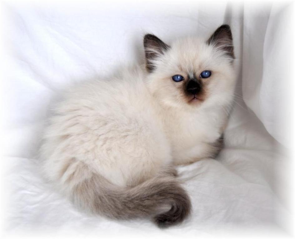 The-Rare-Snowshoe-Cat-Its-Unique-Characteristics-28 The Rare Snowshoe Cat & Its Unique Characteristics
