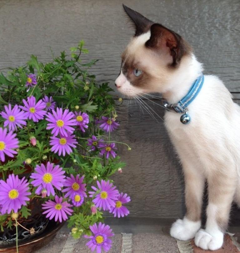 The-Rare-Snowshoe-Cat-Its-Unique-Characteristics-29 The Rare Snowshoe Cat & Its Unique Characteristics