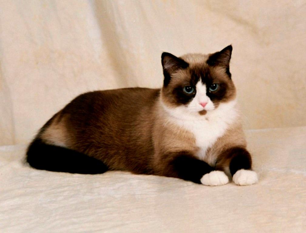 The-Rare-Snowshoe-Cat-Its-Unique-Characteristics-31 The Rare Snowshoe Cat & Its Unique Characteristics