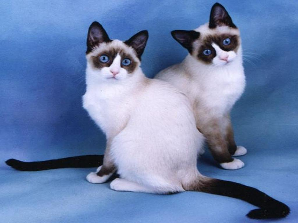 The-Rare-Snowshoe-Cat-Its-Unique-Characteristics-41 The Rare Snowshoe Cat & Its Unique Characteristics