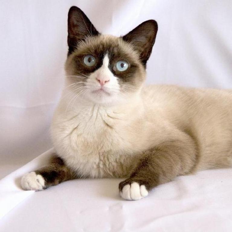 The-Rare-Snowshoe-Cat-Its-Unique-Characteristics-51 The Rare Snowshoe Cat & Its Unique Characteristics