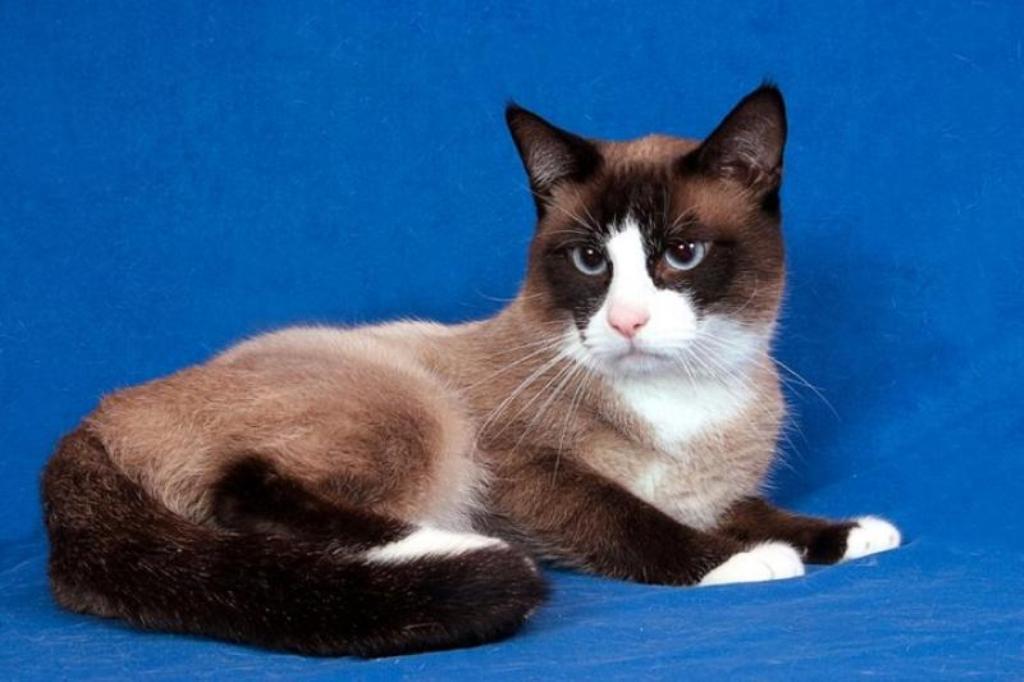 The-Rare-Snowshoe-Cat-Its-Unique-Characteristics-61 The Rare Snowshoe Cat & Its Unique Characteristics