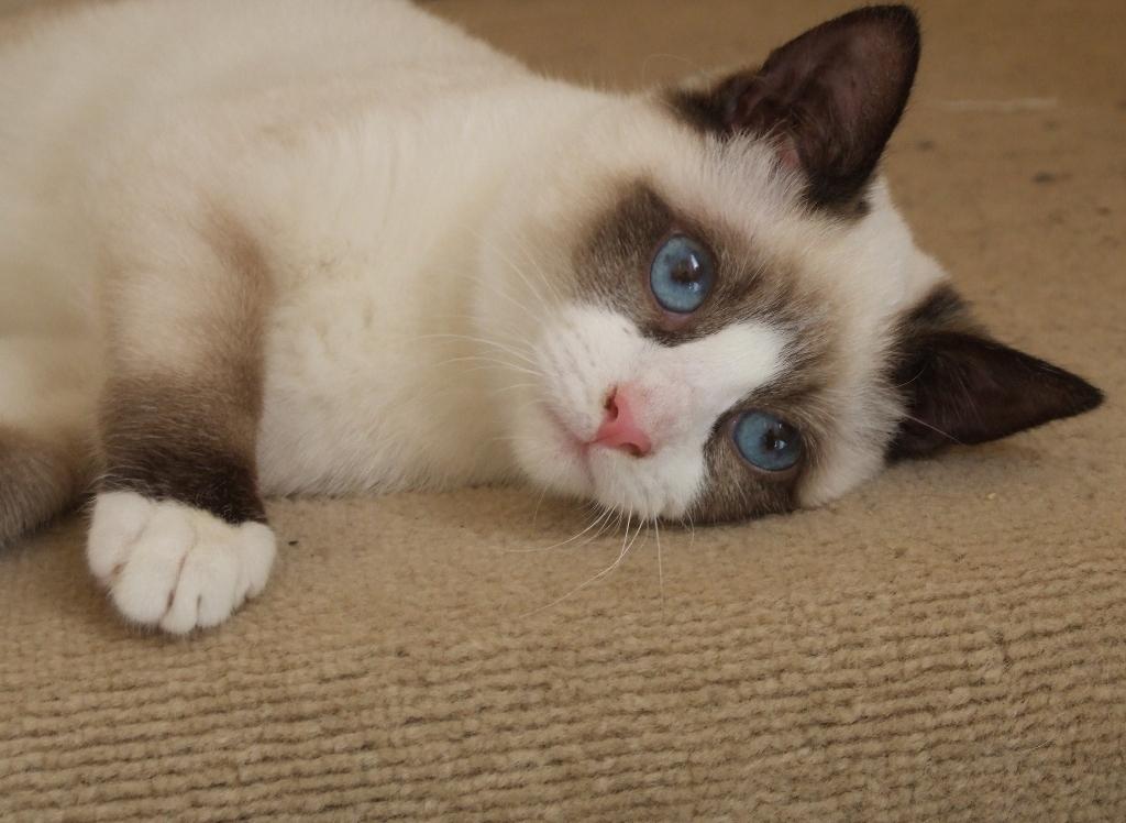 The-Rare-Snowshoe-Cat-Its-Unique-Characteristics-71 The Rare Snowshoe Cat & Its Unique Characteristics