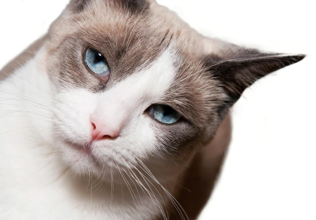 The-Rare-Snowshoe-Cat-Its-Unique-Characteristics-81 The Rare Snowshoe Cat & Its Unique Characteristics