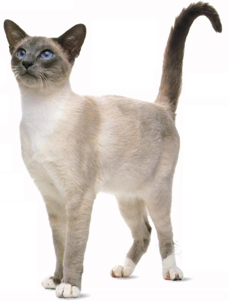 The-Rare-Snowshoe-Cat-Its-Unique-Characteristics-9 The Rare Snowshoe Cat & Its Unique Characteristics