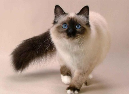 Photo of The Rare Snowshoe Cat & Its Unique Characteristics