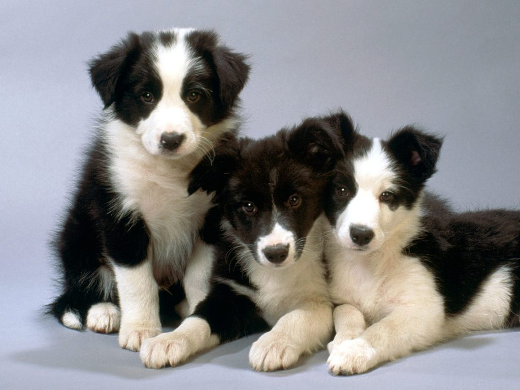 Why-Is-Collie-Dog-a-Perfect-Watchdog-1 Why Is Collie Dog a Perfect Watchdog?