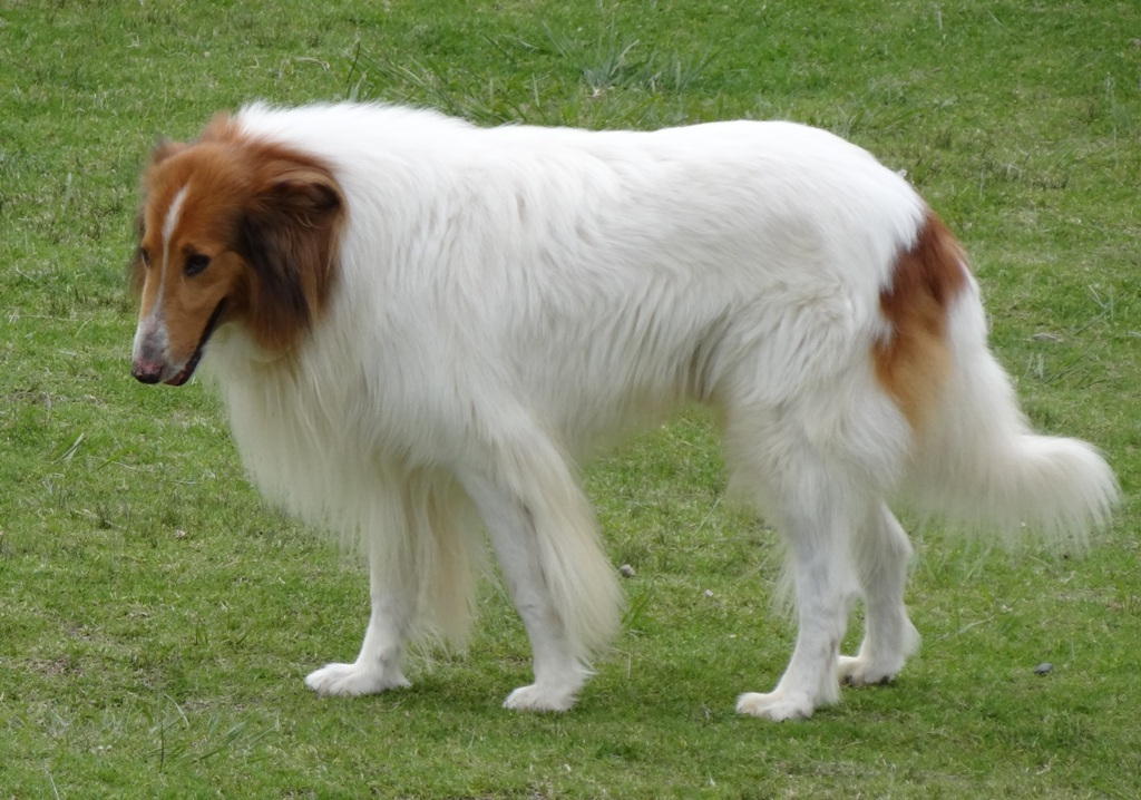 Why-Is-Collie-Dog-a-Perfect-Watchdog-10 Why Is Collie Dog a Perfect Watchdog?