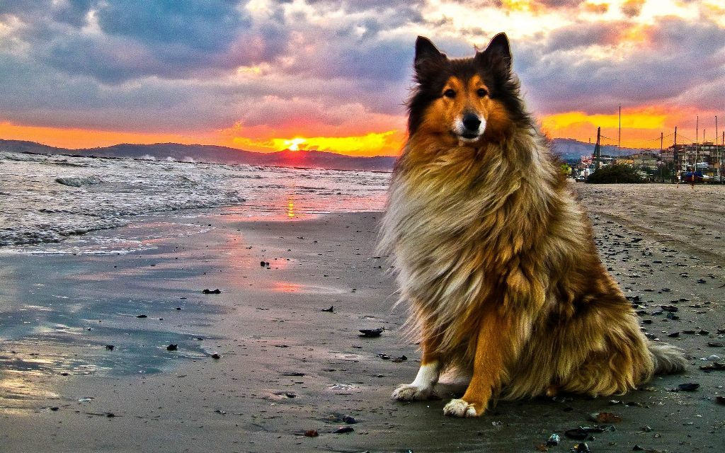 Why-Is-Collie-Dog-a-Perfect-Watchdog-11 Why Is Collie Dog a Perfect Watchdog?