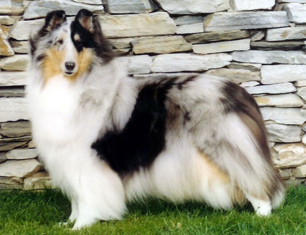 Why-Is-Collie-Dog-a-Perfect-Watchdog-14 Why Is Collie Dog a Perfect Watchdog?