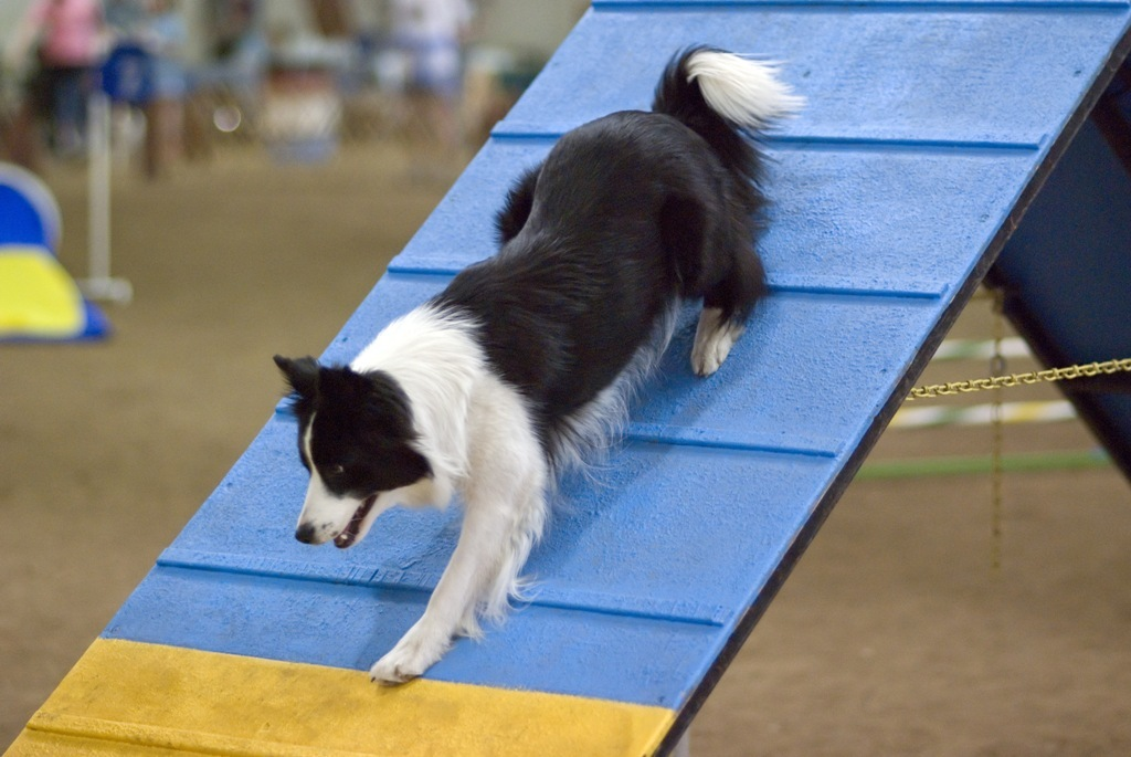 Why-Is-Collie-Dog-a-Perfect-Watchdog-15 Why Is Collie Dog a Perfect Watchdog?