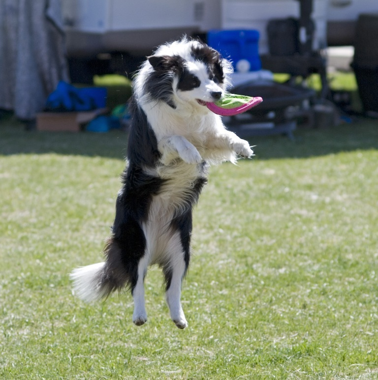 Why-Is-Collie-Dog-a-Perfect-Watchdog-17 Why Is Collie Dog a Perfect Watchdog?