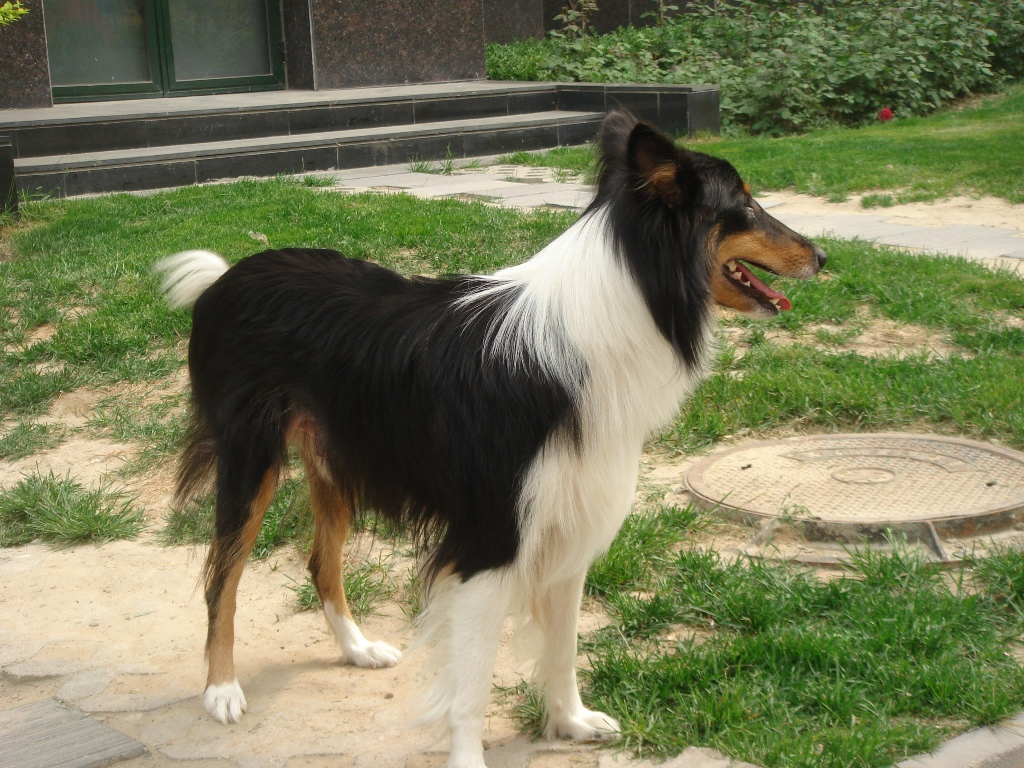 Why-Is-Collie-Dog-a-Perfect-Watchdog-19 Why Is Collie Dog a Perfect Watchdog?