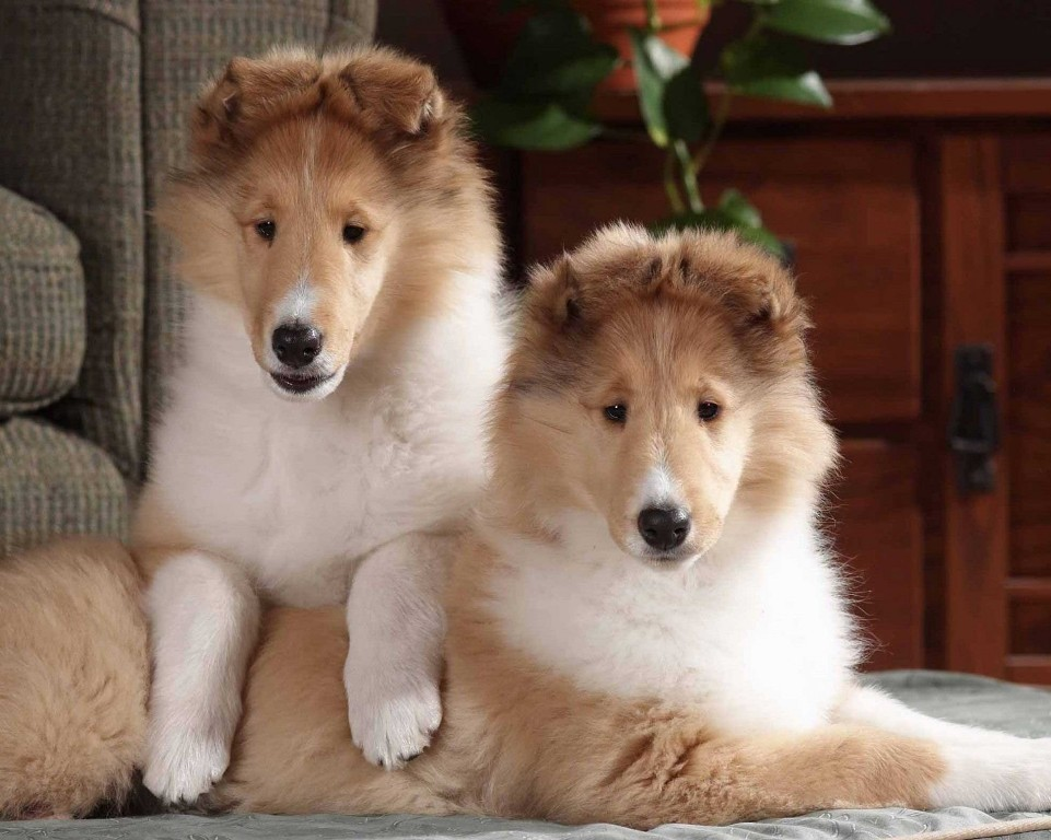 Why-Is-Collie-Dog-a-Perfect-Watchdog-2 Why Is Collie Dog a Perfect Watchdog?