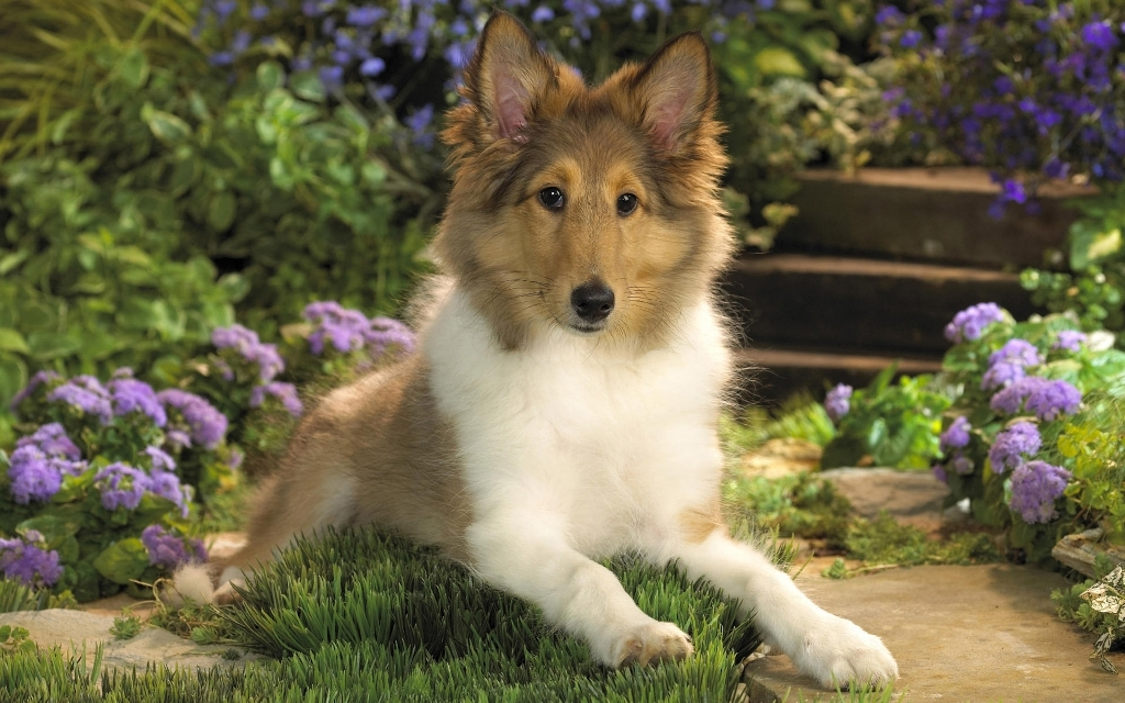 Why-Is-Collie-Dog-a-Perfect-Watchdog-20 Why Is Collie Dog a Perfect Watchdog?