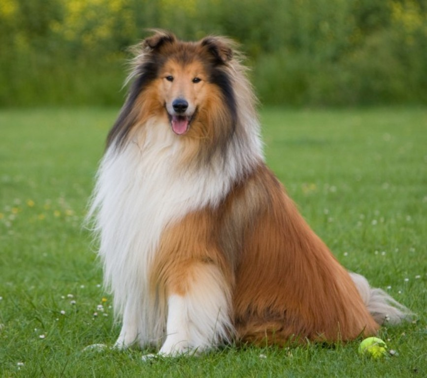 Why-Is-Collie-Dog-a-Perfect-Watchdog-21 Why Is Collie Dog a Perfect Watchdog?