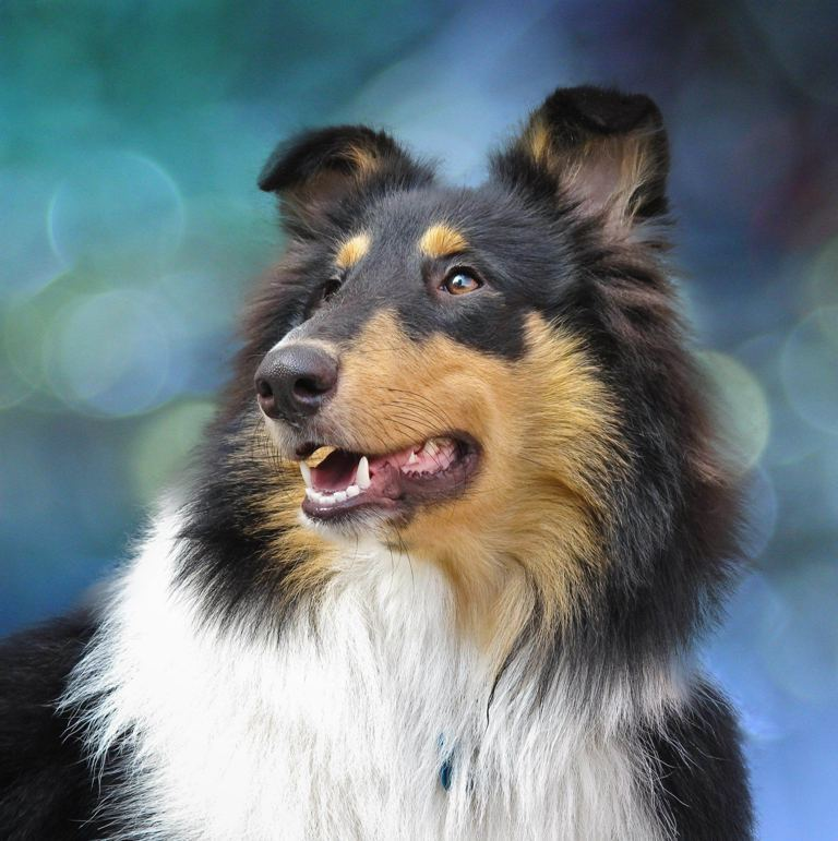 Why-Is-Collie-Dog-a-Perfect-Watchdog-3 Why Is Collie Dog a Perfect Watchdog?
