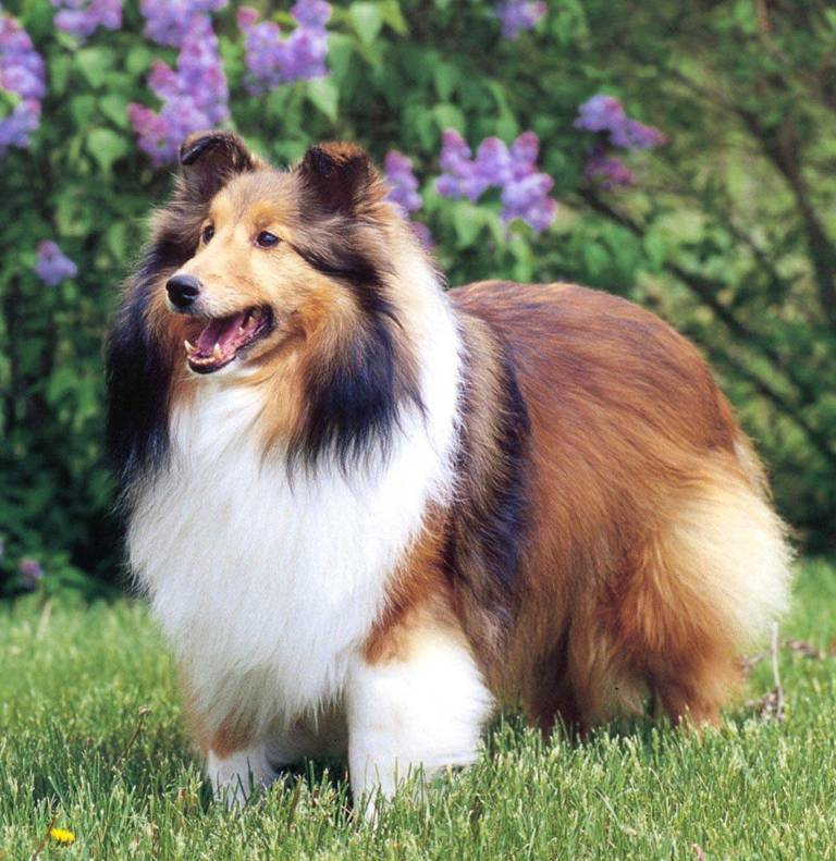 Why-Is-Collie-Dog-a-Perfect-Watchdog-4 Why Is Collie Dog a Perfect Watchdog?