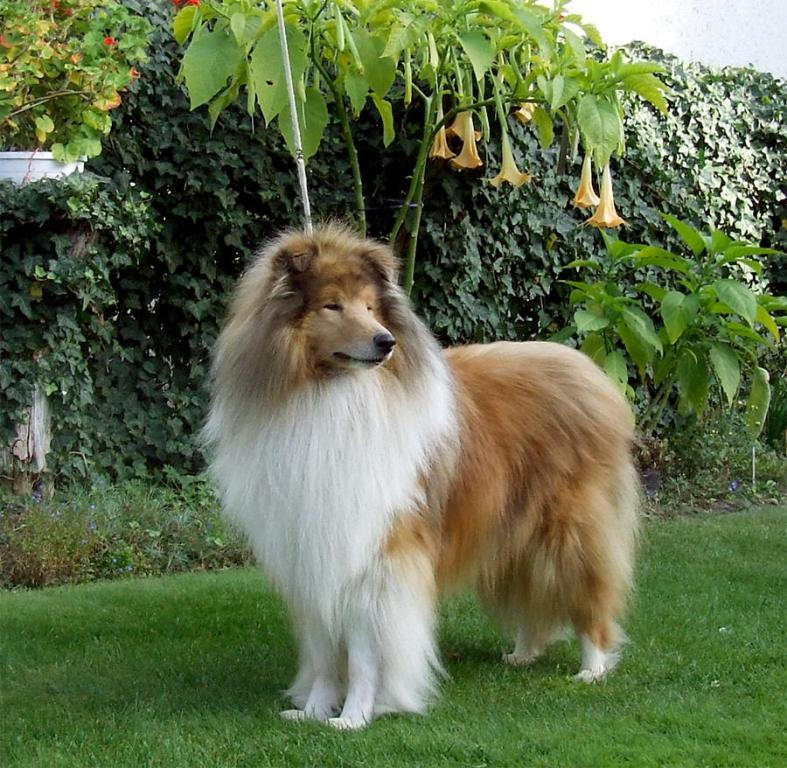 Why-Is-Collie-Dog-a-Perfect-Watchdog-5 Why Is Collie Dog a Perfect Watchdog?