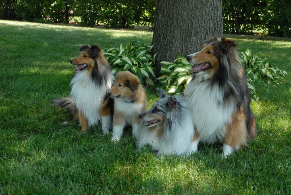Why-Is-Collie-Dog-a-Perfect-Watchdog-6 Why Is Collie Dog a Perfect Watchdog?